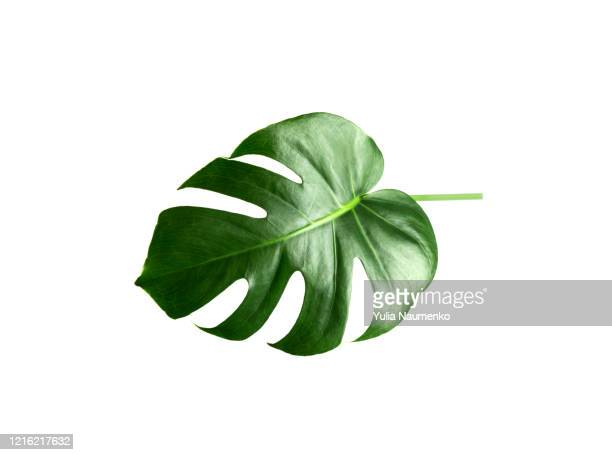 green monstera leaf isolated on white background. tropical plant popular in home decor. - clima tropicale foto e immagini stock
