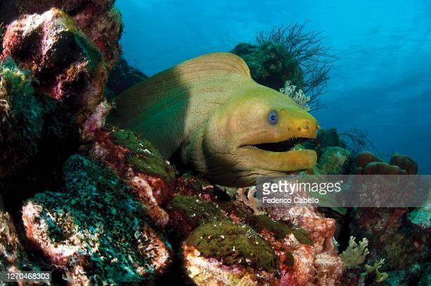 green moray, klein bonaire - klein stock pictures, royalty-free photos & images