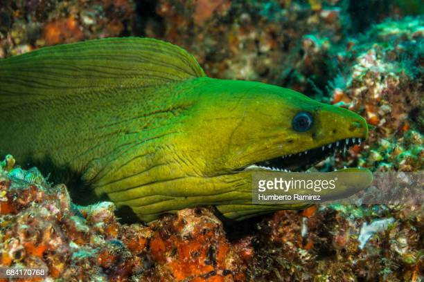 green moray. - saltwater eel stock photos and pictures