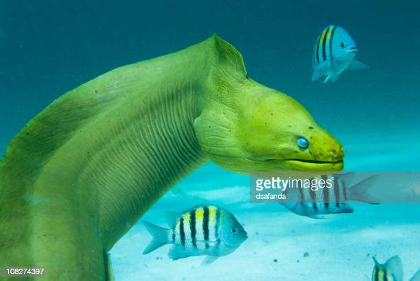 green moray saltwater eel with other fish - saltwater eel stock photos and pictures