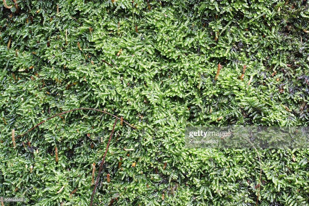 Green Moss Background : Stock Photo