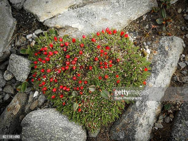 Green moss bush with tiny red flowers in the shape of a a heart, Arctic Circle