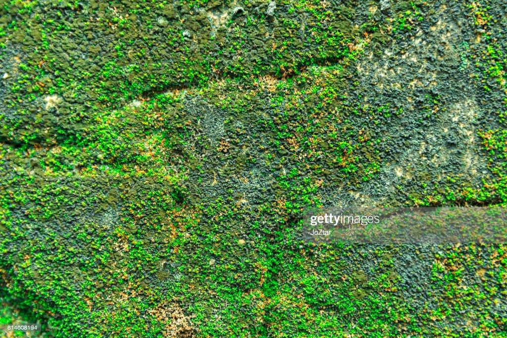 gr nes moos wachsen an der alten wand textur gr n hintergrund zeigen stock foto getty images. Black Bedroom Furniture Sets. Home Design Ideas
