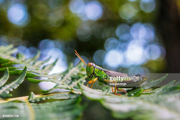 Green Mountain Grasshopper