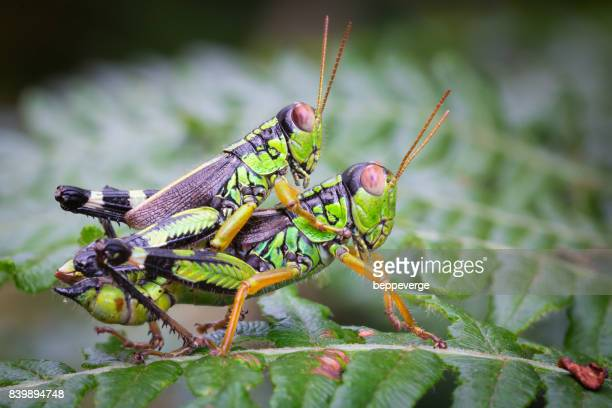 green mountain grasshopper - cricket insect stock photos and pictures
