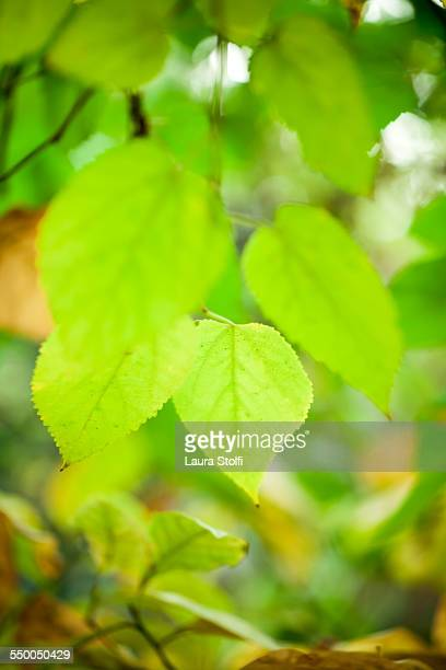 Green mulberry leaves on the tree