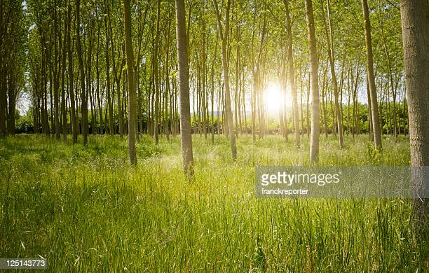 Green mystic Forest at sunrise