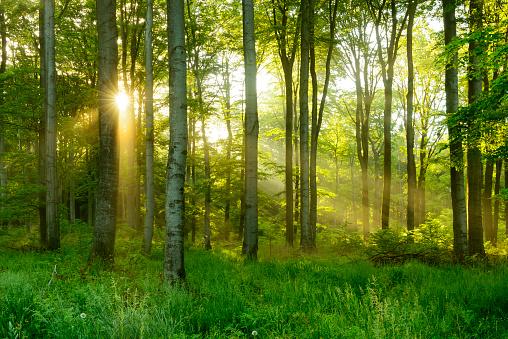 Green Natural Beech Tree Forest illuminated by Sunbeams through Fog 540390024