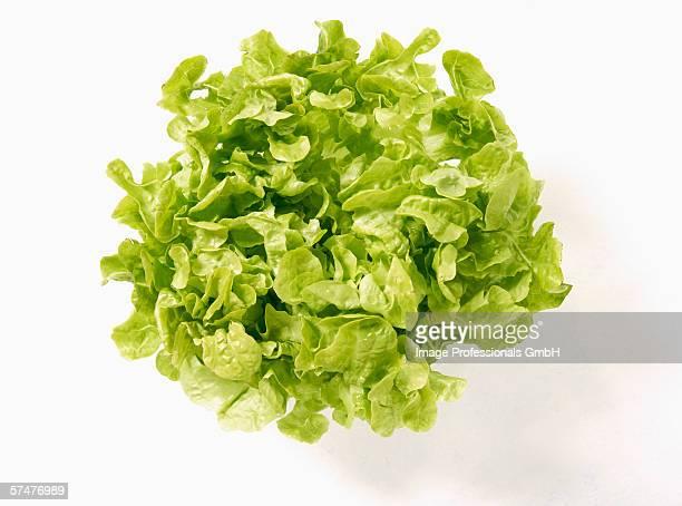 A green oak leaf lettuce