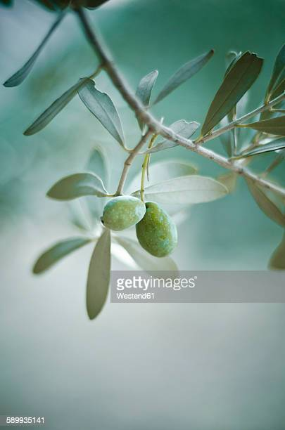 Green olive on tree