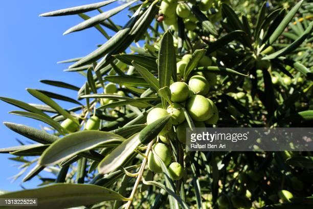 green olives growing on a tree in an orchard - rafael ben ari fotografías e imágenes de stock