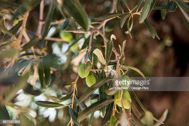 Green olives in Tratalias