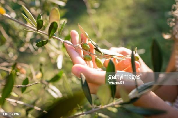 green olives on tree, tuscany, italy - オリーブ ストックフォトと画像