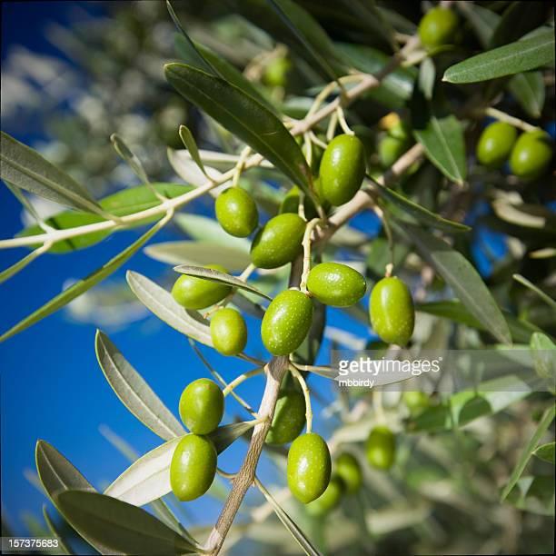 olives vertes - symbole de la paix photos et images de collection