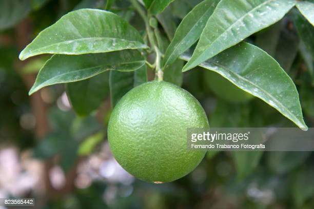 Green orange on the tree