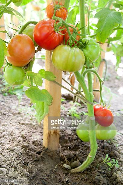 tomate verde orgânico - coluna de madeira - fotografias e filmes do acervo