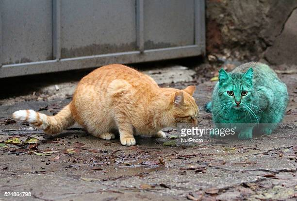 A green painted cat looking for a food and is comforted by another orange cat at a street in the Black sea town of Varna east of the Bulgarian...