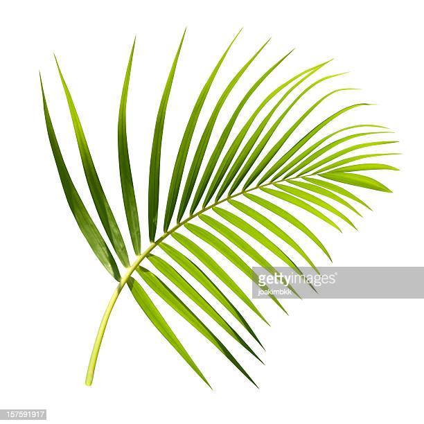 green palm leaf isolated on white with clipping path - tropical tree stock pictures, royalty-free photos & images