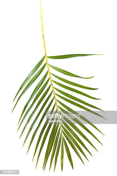 Green palm leaf isolated on white with clipping path