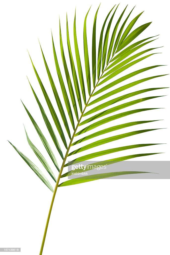 Vert feuille de palmier isolé sur blanc avec un Tracé de détourage : Photo