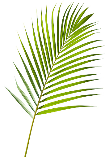 Green palm tree leaf with isolated on white clipping path 157439518
