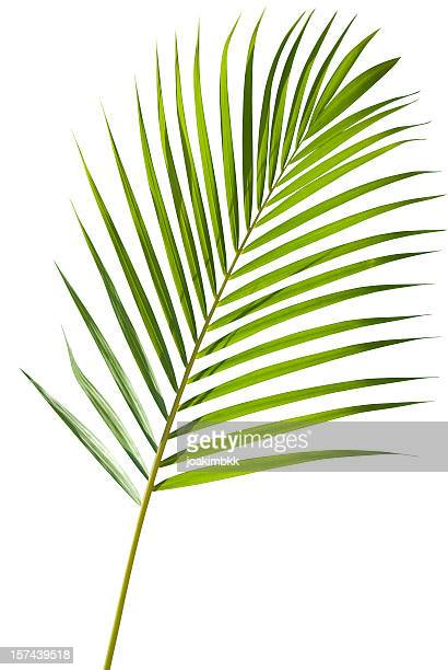 Green palm tree leaf with isolated on white clipping path