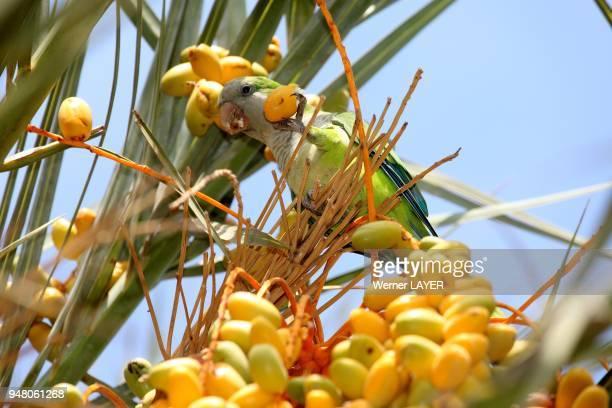 Green Parakeet into date palm on Fuerteventura