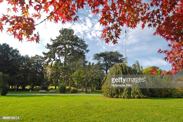 Green park with big cedar trees, framed by red maple leaves