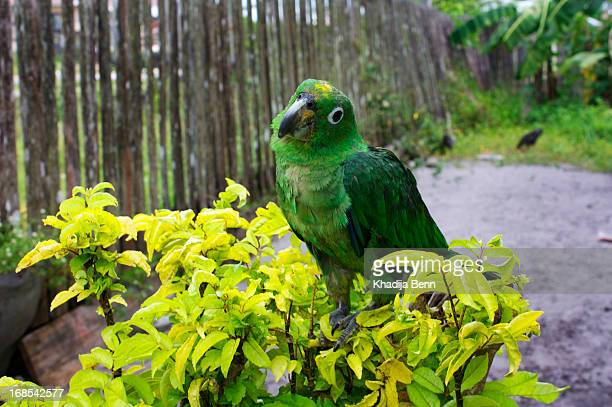 green parrot cocking its head - guyana stock pictures, royalty-free photos & images