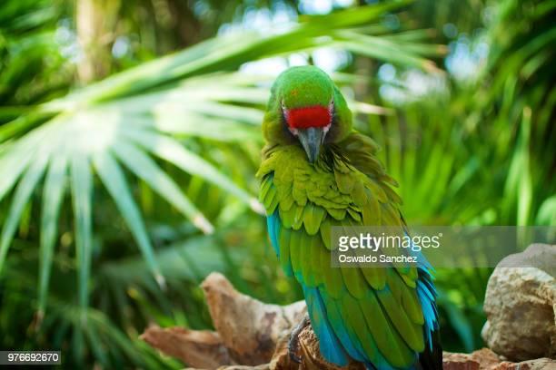 green parrot peening - perroquet photos et images de collection