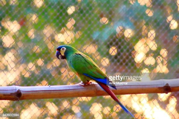 green parrot - amir mukhtar imagens e fotografias de stock
