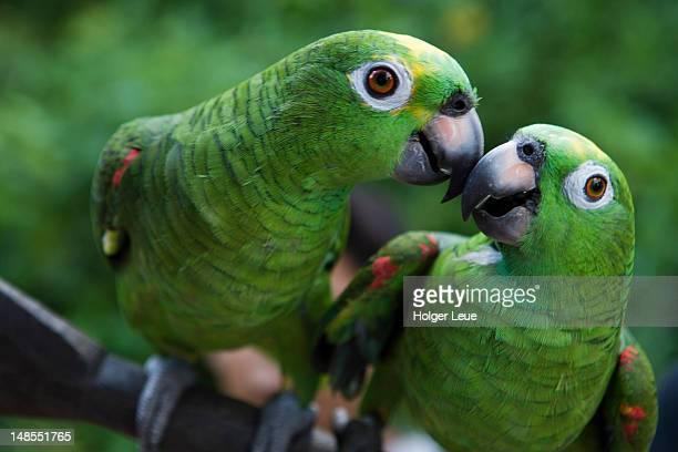 green parrots in amazon rainforest village. - animal - fotografias e filmes do acervo