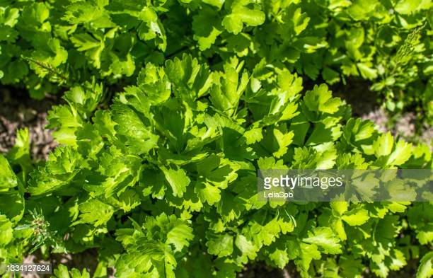 green parsley in the vegetable garden - flat leaf parsley stock pictures, royalty-free photos & images