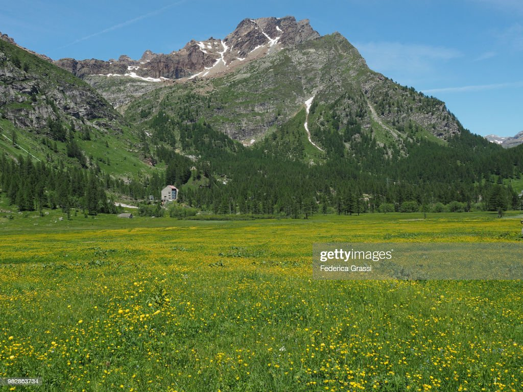Green Pasture Covered With Yellow Buttercup Flowers At Alpe Devero
