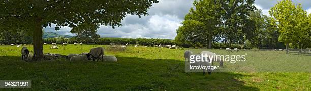 Vert pâturage des moutons, Blanc