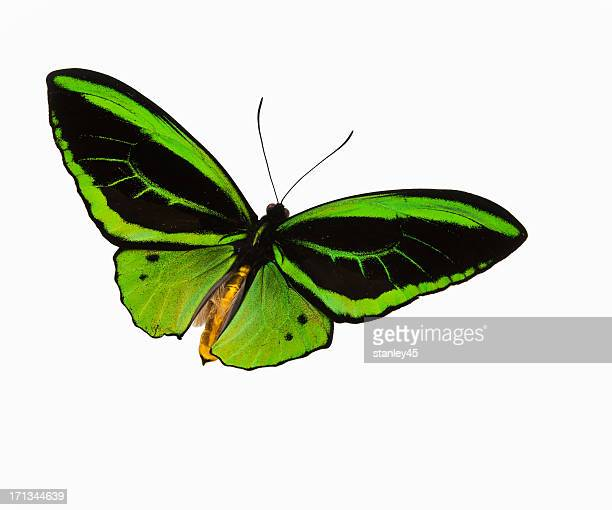 Green patterned butterfly flying against a white backdrop