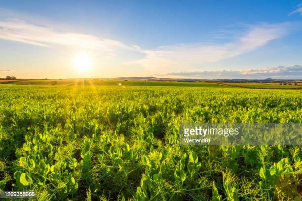 green pea (pisum sativum) field at summer sunset - crop stock pictures, royalty-free photos & images