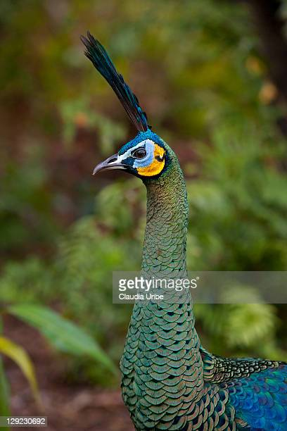 Green peafowl or peacock from Java