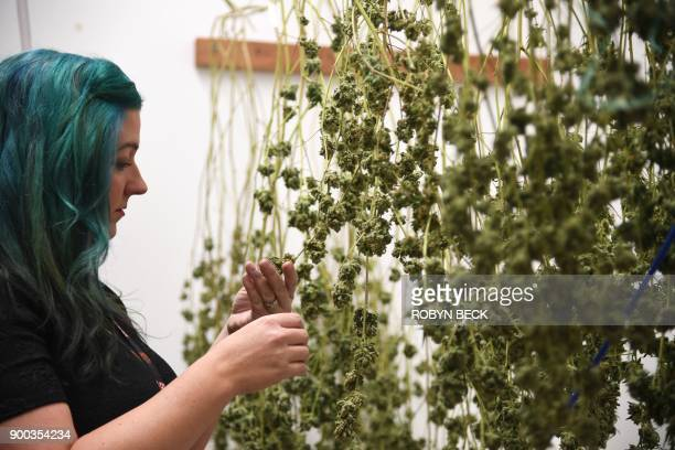 Green Pearl Organics dispensary owner Nicole Salisbury inspects drying marijuana on the first day of legal recreational marijuana sales in California...