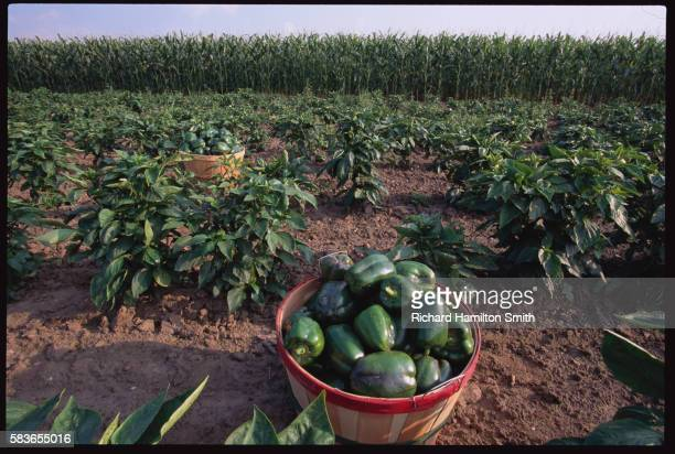 green pepper field at vegetable farm - green bell pepper stock pictures, royalty-free photos & images