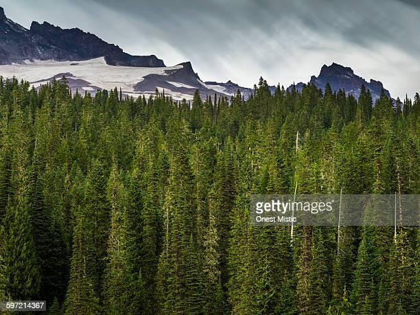 green pine trees at mt. rainier - conifera foto e immagini stock