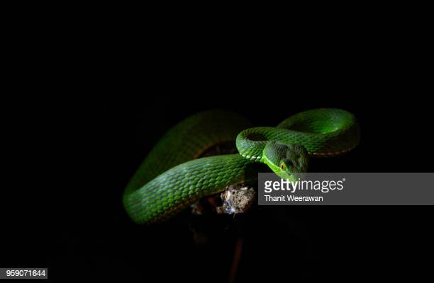 31 Viper Snake Bamboo Pictures, Photos & Images - Getty Images