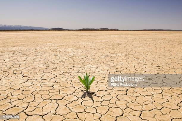 Green plant growing from cracked dry soil in desert landscape