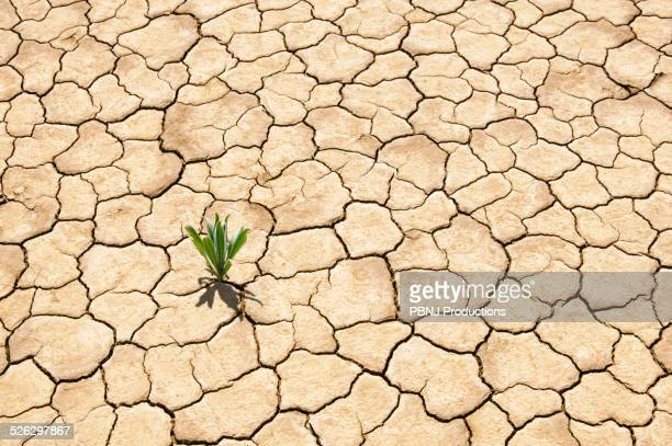 Green plant growing from cracked dry soil
