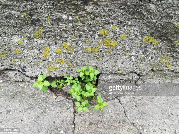 Green plant growing in concrete wall