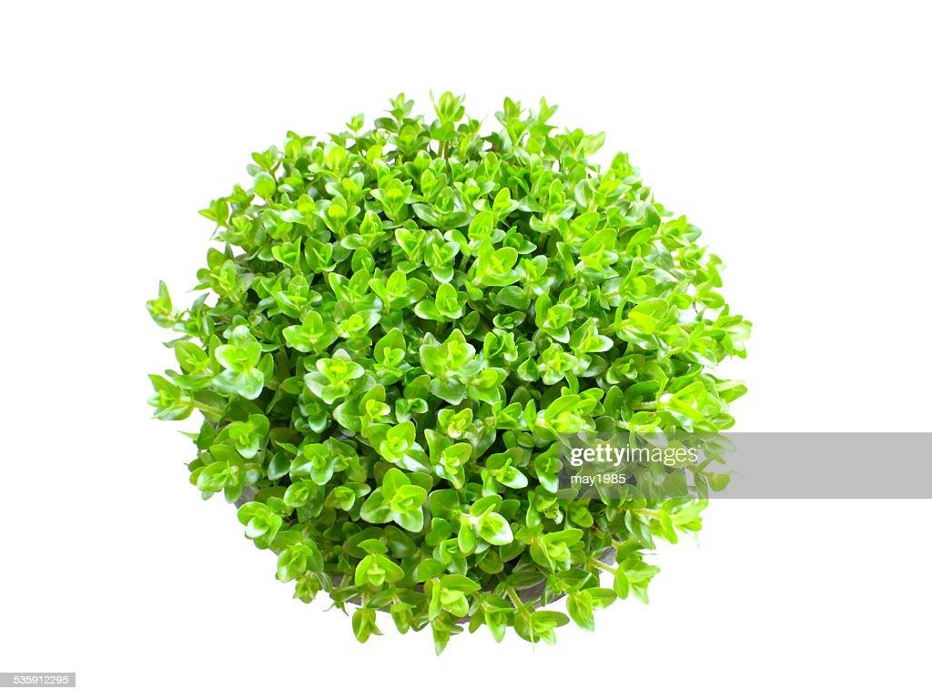 Planta verde isolado em um fundo branco : Foto de stock