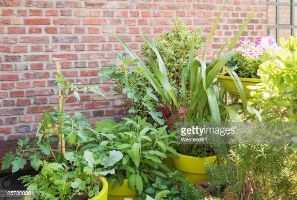 green plants growing in vegetable garden on balcony - balcony stock pictures, royalty-free photos & images