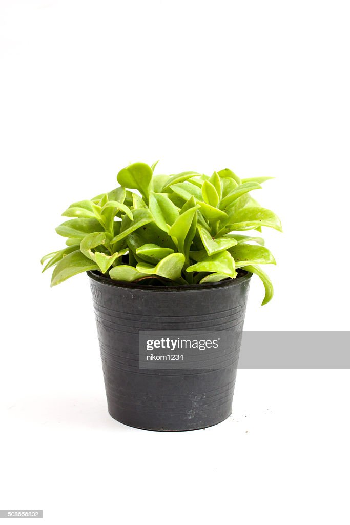 green plants in the small isolated on white background : Stock Photo