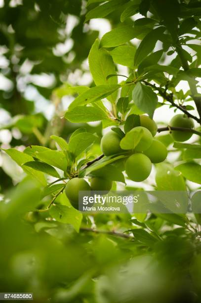 Green Plums Growing on an Orchard Tree
