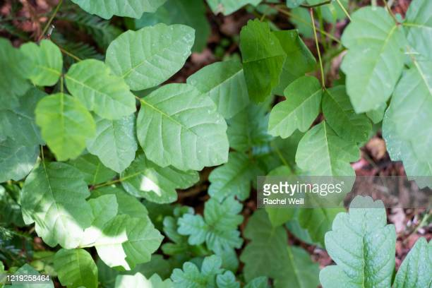 green poison oak in the woods - poison oak stock pictures, royalty-free photos & images